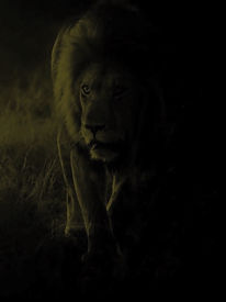 A lion barely visible in the dark of night.