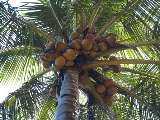 Coconuts. Are they a miracle food?