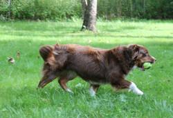 Bria - Mini American Shepherd tail