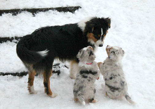 Mini Aussies with tails breeder