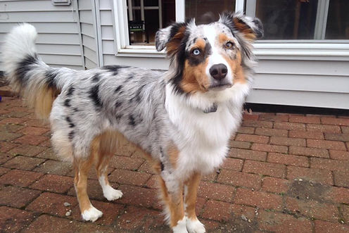 Blue merle mini Aussie with un-docked tail