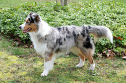 Mini American Shepherds with tails