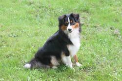 Sibby- Mini American Shepherd
