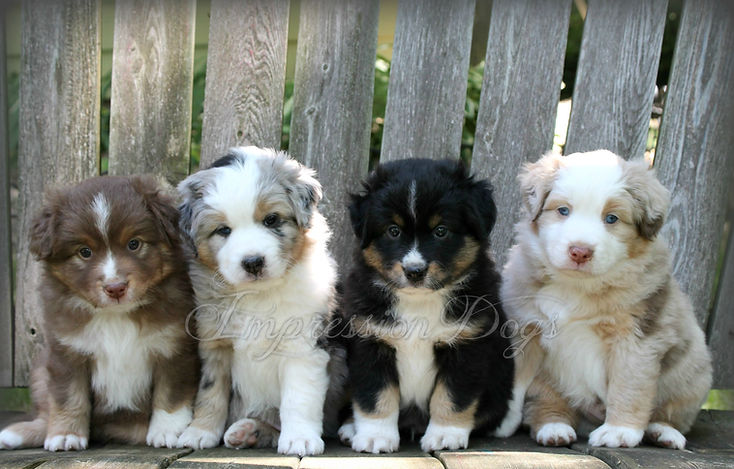 miniature american shepherd puppies with tails