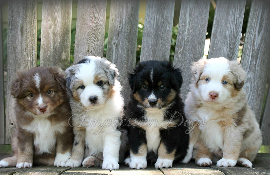 australian shepherd puppies with tails