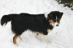 sibby- Aussie with a tail