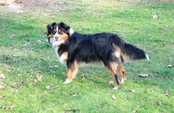 Impression dog Mini Aussie with tail