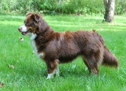 Bria - Mini Aussie with a full tail