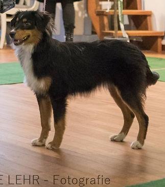 Niles, Impression dog's Mini Aussie with tail show dog