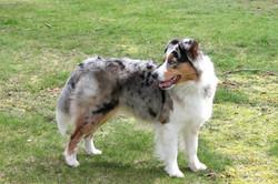Australian Shepherd with a tail