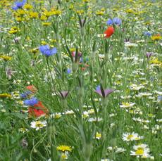 Wildflower Meadow 2.jpg