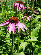 Echinacea purpurea CF1_edited.jpg