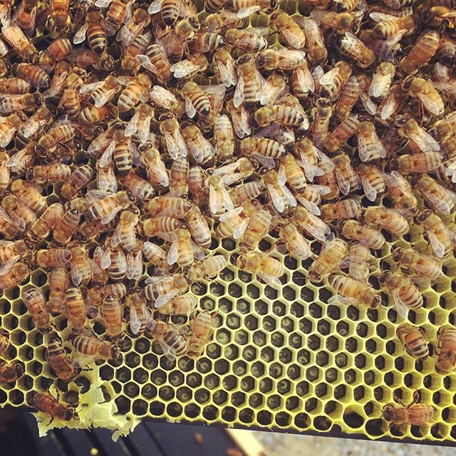 Honeybees, comb, and lots of larva._._._._._