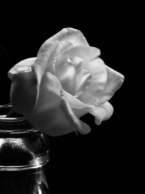 La rosa Blanca.