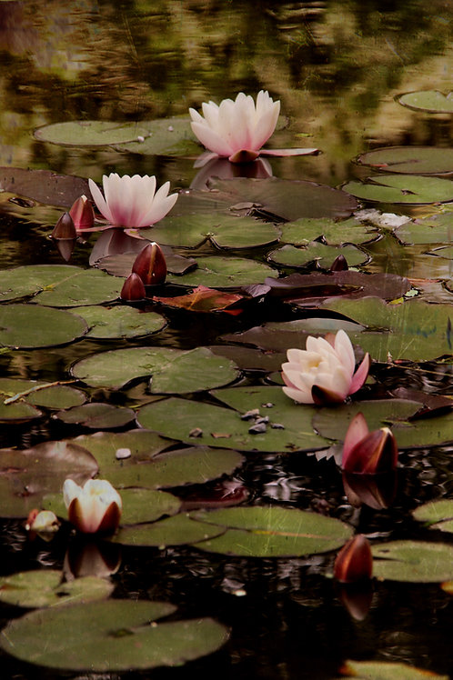 the lily pond.