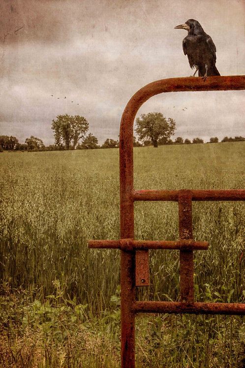 The crow on the rusty gate.