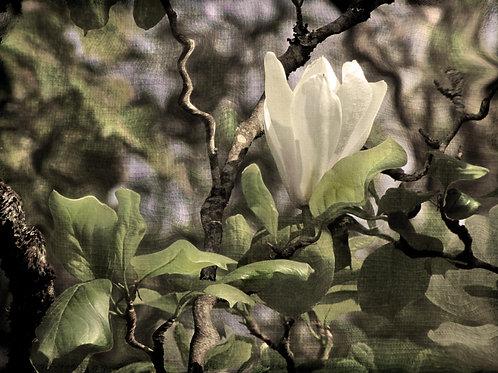 Sweet magnolia.