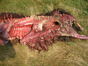 slaughtered sheep.jpg