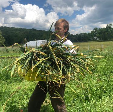 The Great Garlic Harvest