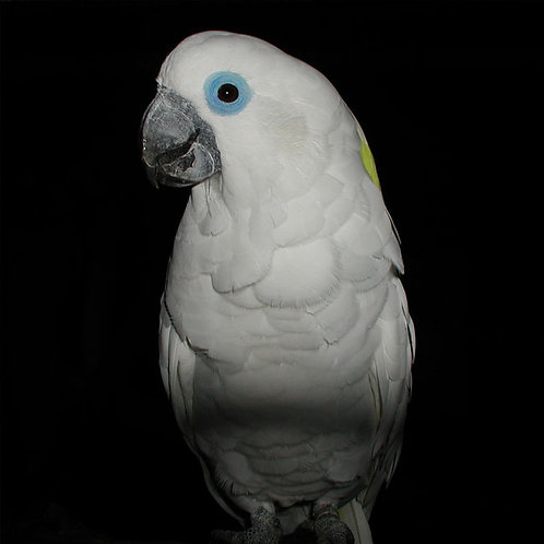 CACATUA OPHTHALMICA