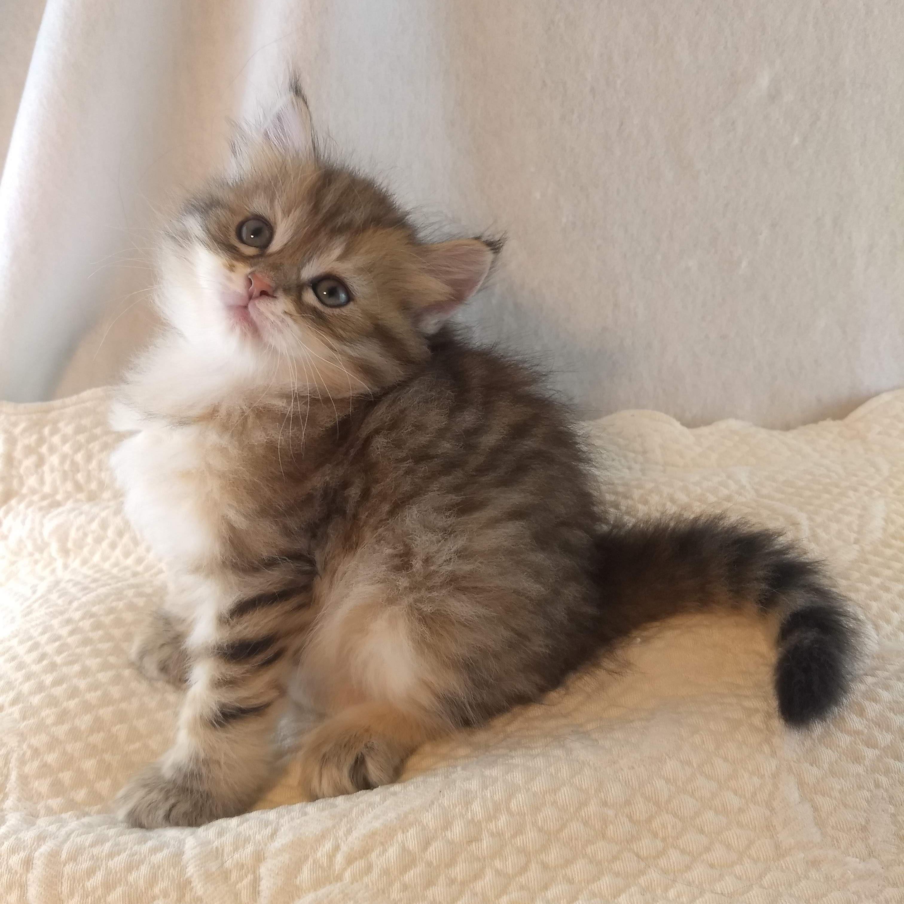 Hypoallergenic Cat Missouri Wynnheart Siberian Cats