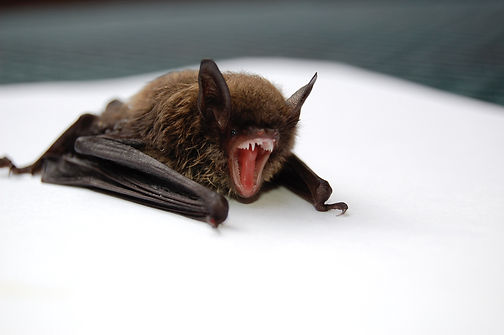 Brown Little bat - HD Image .jpg