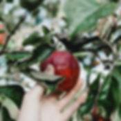 apple picking up close .jpg