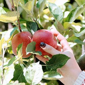 Hand holding an heirloom apple