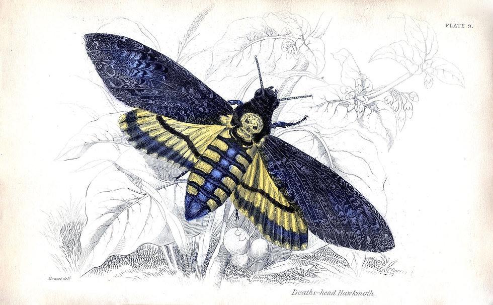 Skull-Moth-GraphicsFairysm.jpg