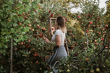 Sasha picking apples from a ladder