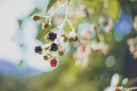 Delicious vine-ripened blackberries