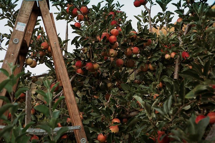Ripe organic apples