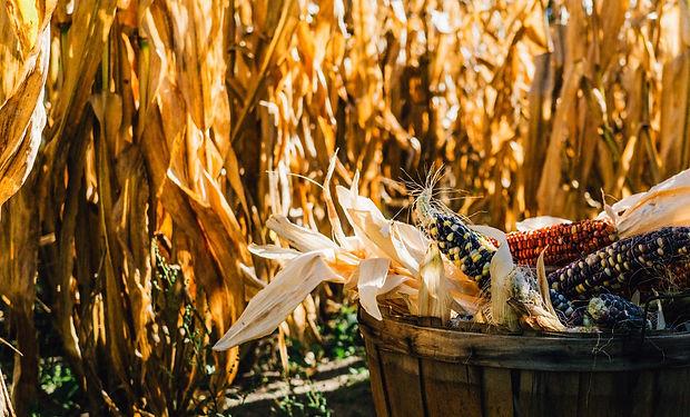 corn harvest_edited.jpg