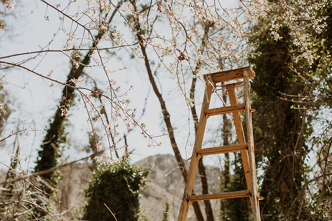 Blossoms and yellow orchard ladder