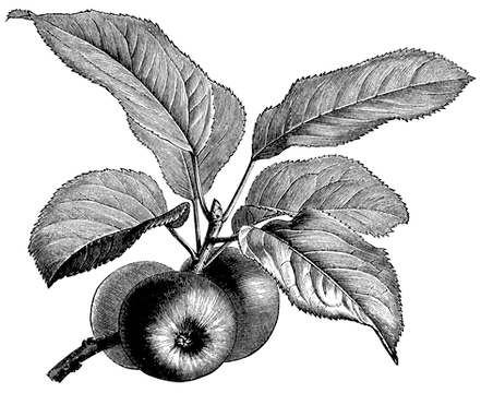 OldDesignShop_FruitingBranchAppleBW.png