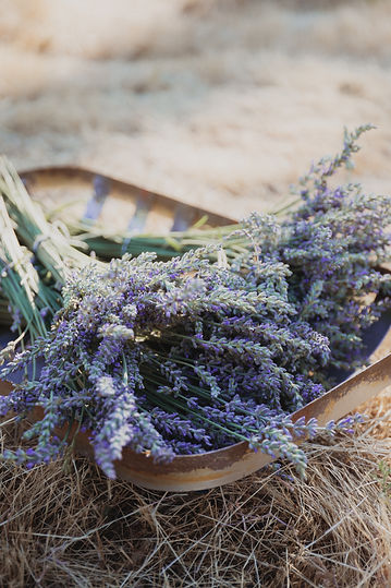 farm grown provence lavender