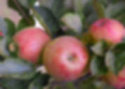 apple picking in oak glen, southern california