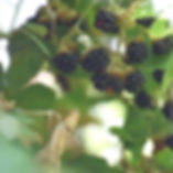 blackberry picking at Stone Soup Farm