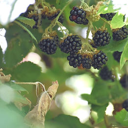 blackberry picking at Stone Soup Farm
