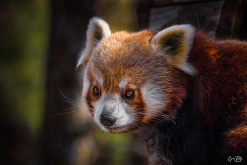 panda-rouxpng