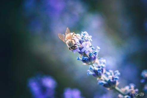 abeillepng