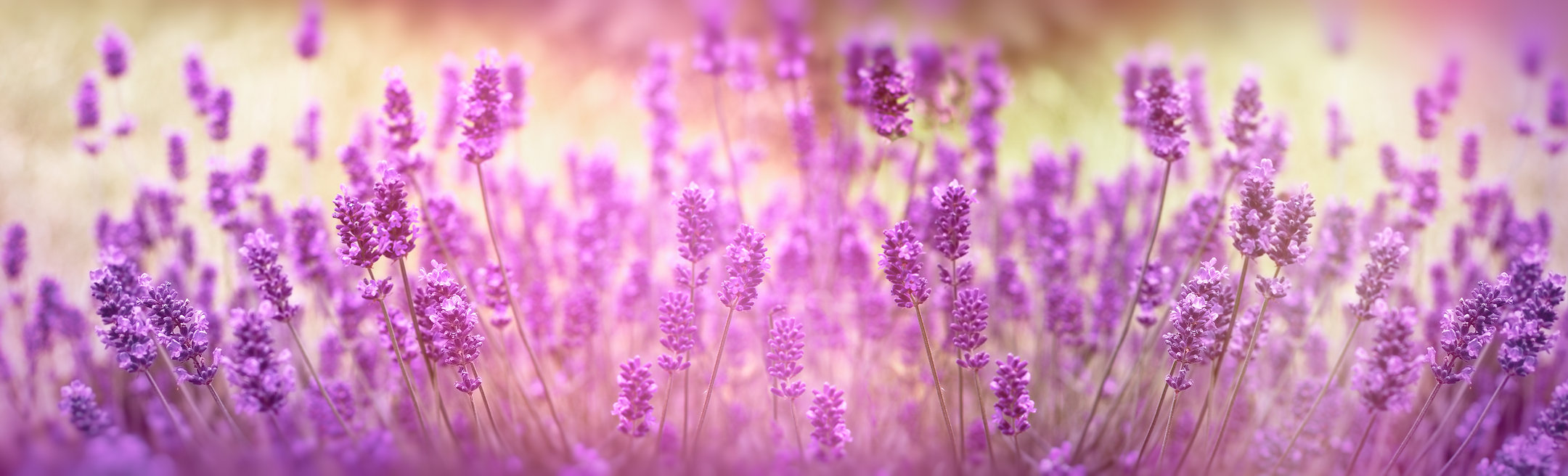 Selective focus on lavender flower, lave