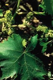 florais de bach - vine - castellani terapia holistica no abc