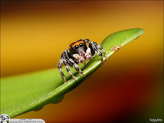Jumping-Spider-most-beuatiful-spider-in-