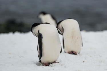 two and a half penguins