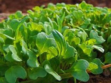 Mibuna Mustard Greens