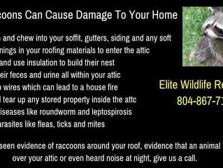Types of Damage Raccoons Can Make to Your Home