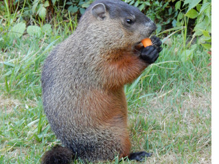 Bizarre Facts About Groundhogs