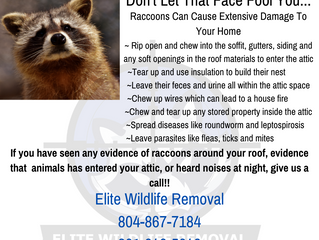 Don't Let A Raccoon Fool You