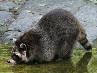Tips to Keep Raccoons Away